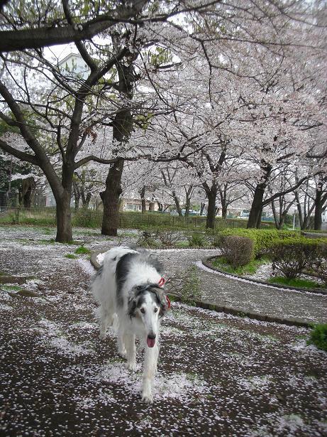 辺り一面桜色