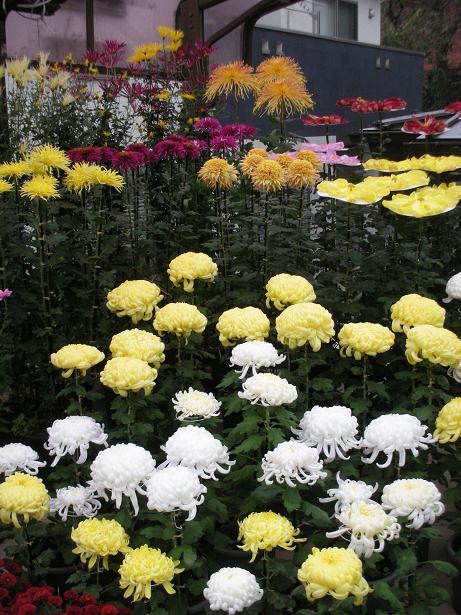 豪華絢爛菊ワールド
