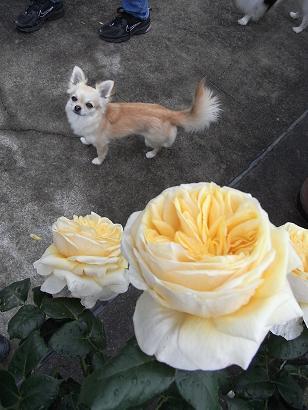 カップ咲きの薔薇が好きです
