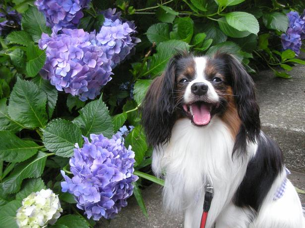 俺様と紫陽花