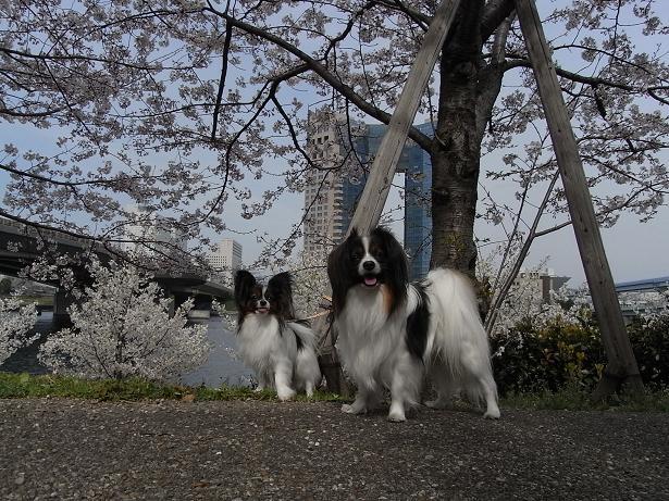 都会と桜とパピヨン